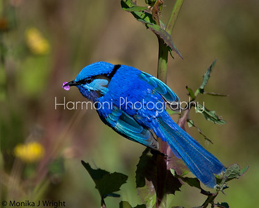 Splendid Fairy Wren (Male)