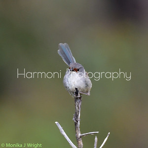 Red Winged Fairy Wren, female
