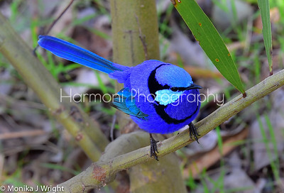 Male Splendid Fairy Wren