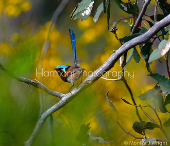 Red Winged Fairy Wren (male)