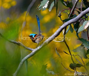 Red Winged Fairy Wren (male)