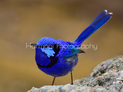 Splendid Fairy Wren, male