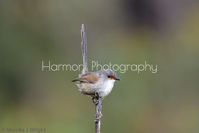 Red Winged Fairy Wren (female)