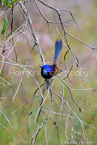 Male Variegated Fairy Wren