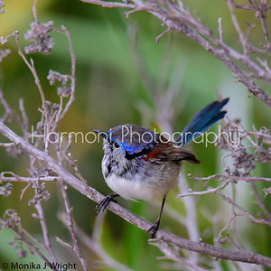 Male Variegated Fairy Wren 'in eclipse'
