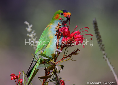 Purple Crowned Lorikeet