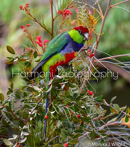 Red Capped Parrot (male)