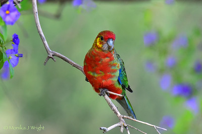 Western Rosella and lilacs
