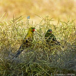 Regent Parrots