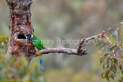 Ringneck Parrot (aka 'Twentyeight')