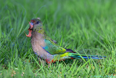 Red Capped Parrot with Eucalyptus leaf