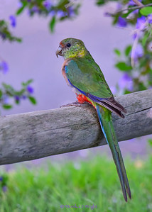 Red Capped Parrot (female)