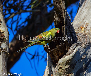 Regent Parrot (male) at the nest