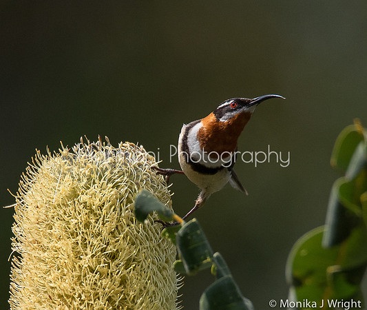 Harmoni photography Spinebills