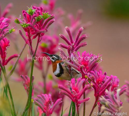 Harmoni photography Spinebills
