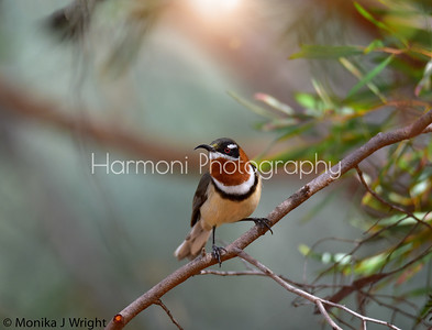 Male Western Spinebill