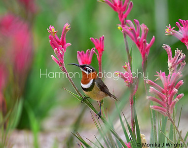 Male Spinebill