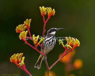 White cheeked honeyeater