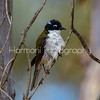 Juvenile White Naped Honeyeater
