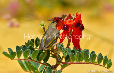 Brown Honeyeater, Sturt Peas and the ant