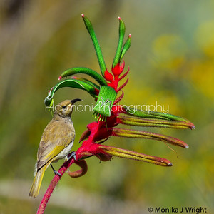 Brown Honeyeater on Kangaroo paw