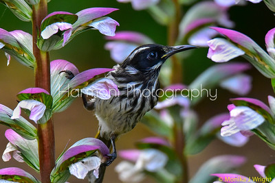 New Holland Honeyeater juvenile