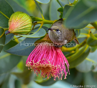 Brown Honeyeater Eucalyptus
