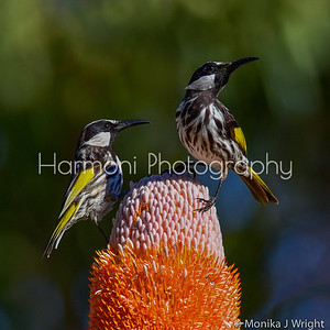 Pair of White Cheek Honeyeaters
