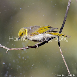 Yellow plumed honeyeater waiting its turn for a dip in the pond below