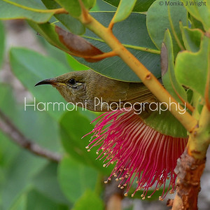 Curious Brown Honeyeater