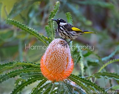 White Cheeked Honey Eater and Burdett's Banksia