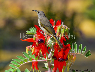 Brown Honeyeater and Sturt peas