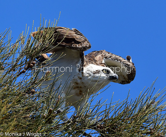 Harmoni-Photography-Osprey