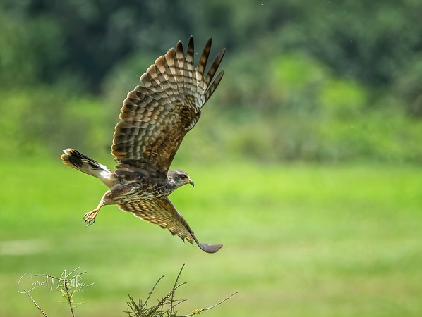Snail Kite in Flight-6