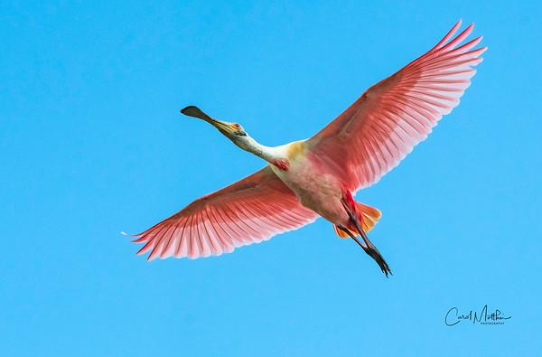 Spoonbill flyover-3