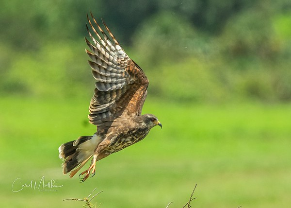Snail Kite in Flight-5