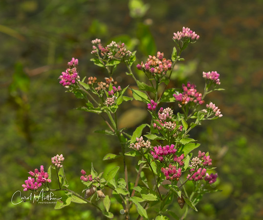 marsh flowers
