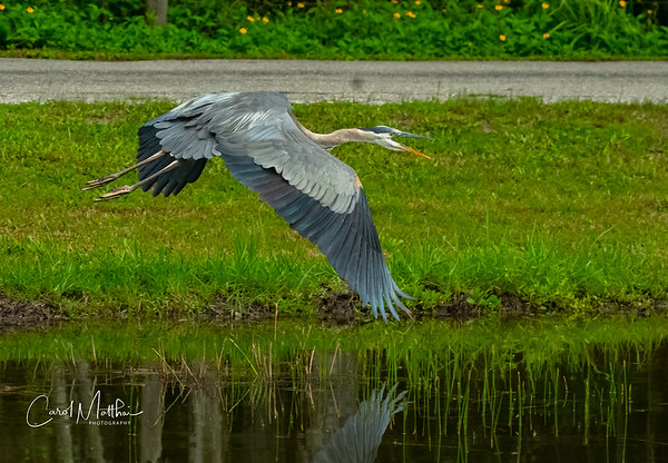 GBH wing tip reflection on the water-2