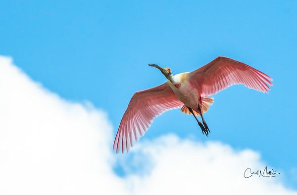 Spoonbill flyover