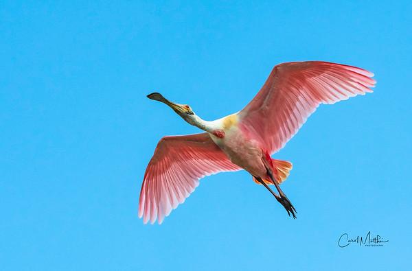 Spoonbill flyover-2