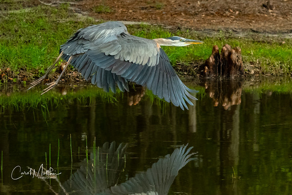 GBH wings reflection on the water