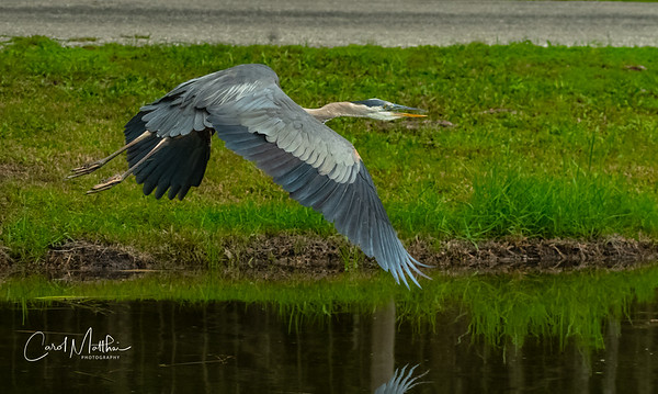 GBH wing tip reflection on the water