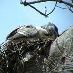 Harpy Eagles in the Darien Lowlands