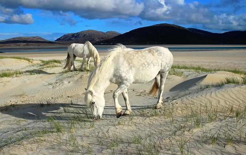 White horses on the white sands of Luskentyre, Harris