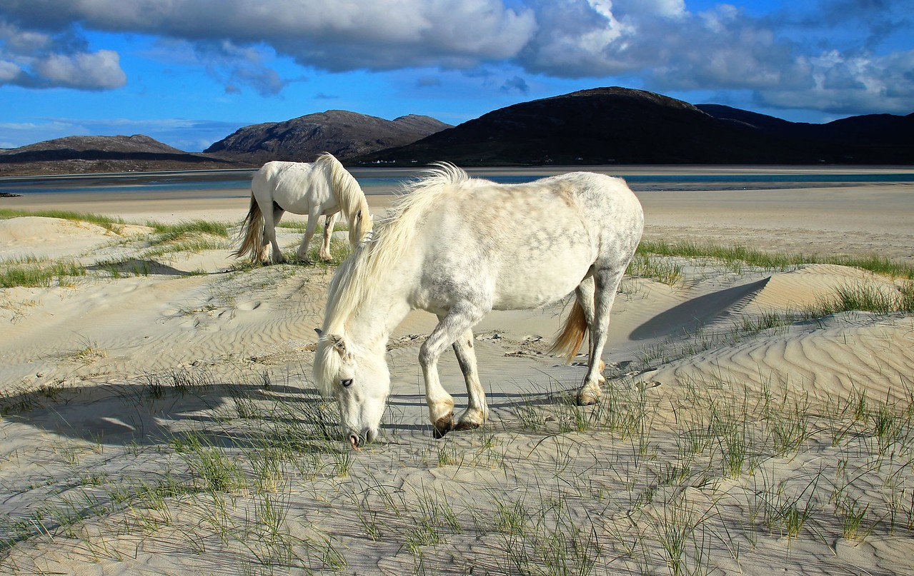 White horses on the white sands of Luskentyre, Harris