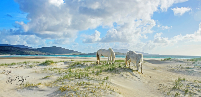 White ponies in the Luskentyre Dunes