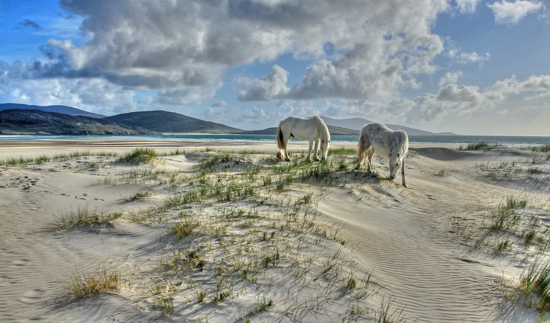 White ponies on white dunes at Luskentyre