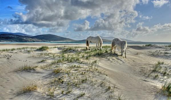 White ponies on white dunes at Luskentyre