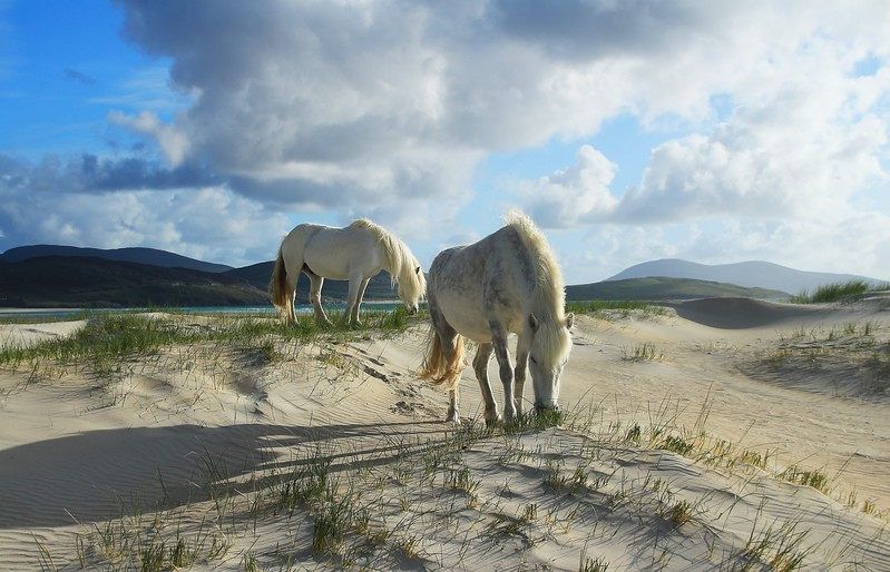 Dune Ponies in Harris