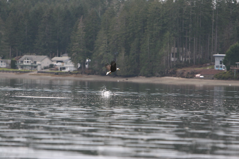 Unsuccessful attempt by eagle to steal fish from river otter.